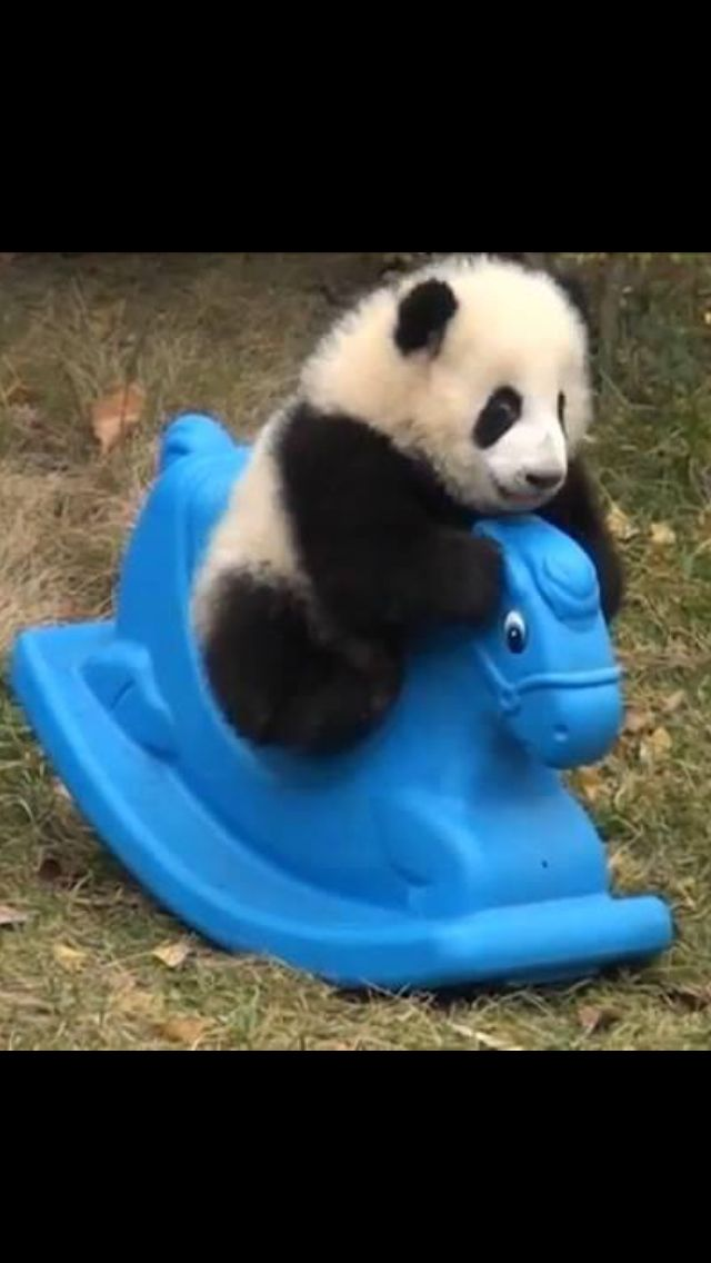 Baby panda #babypandas