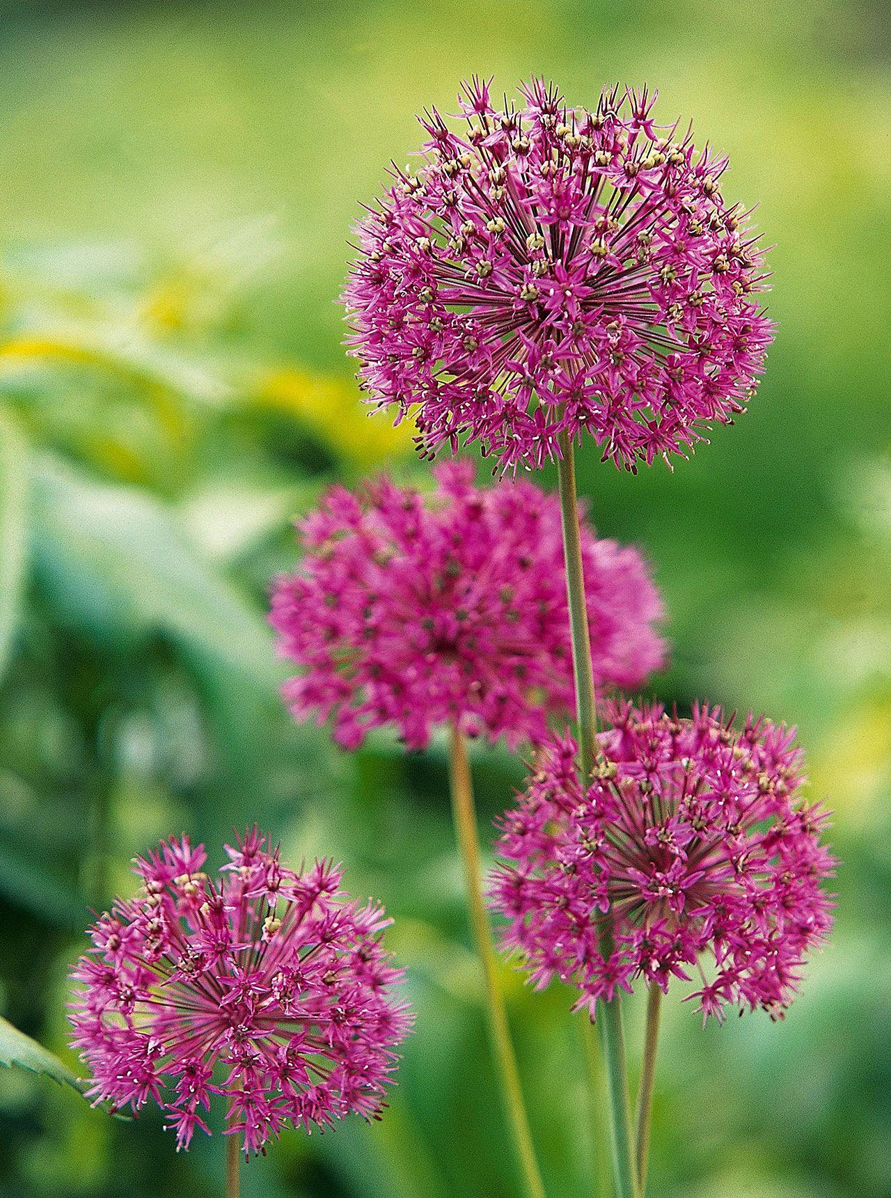 16 Of The Prettiest Allium Varieties To Plant In Your Garden In 2020 Rabbit Resistant Plants Plants Allium Flowers