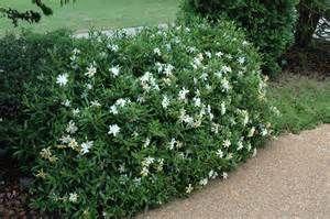 Mini Gardenia Plant Yahoo Image Search Results Planten Bloemen