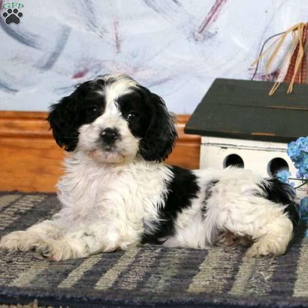 Lollipop Cockapoo Puppy For Sale in Pennsylvania PETS