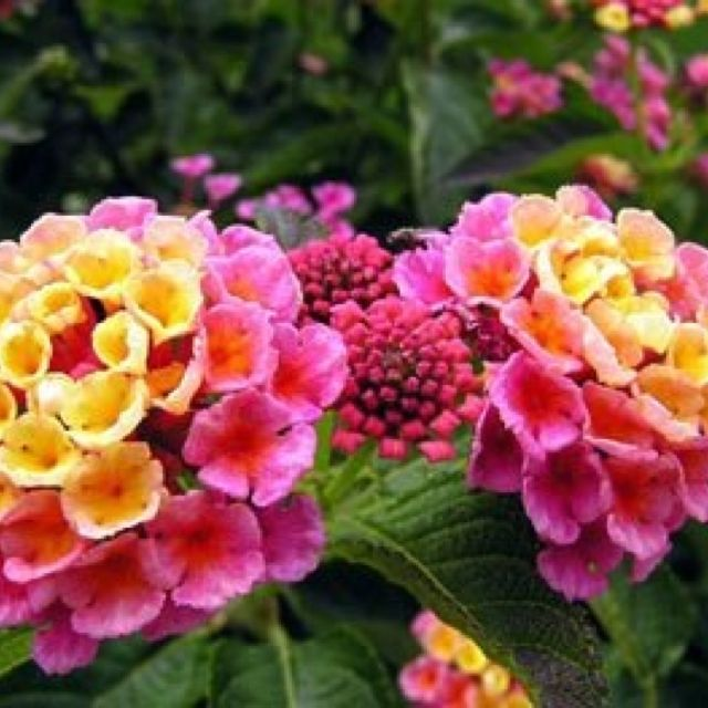 Lantana For Window Box Looks Nice With Trailing Sweet Potato Vine Plants Flowers Beautiful Flowers