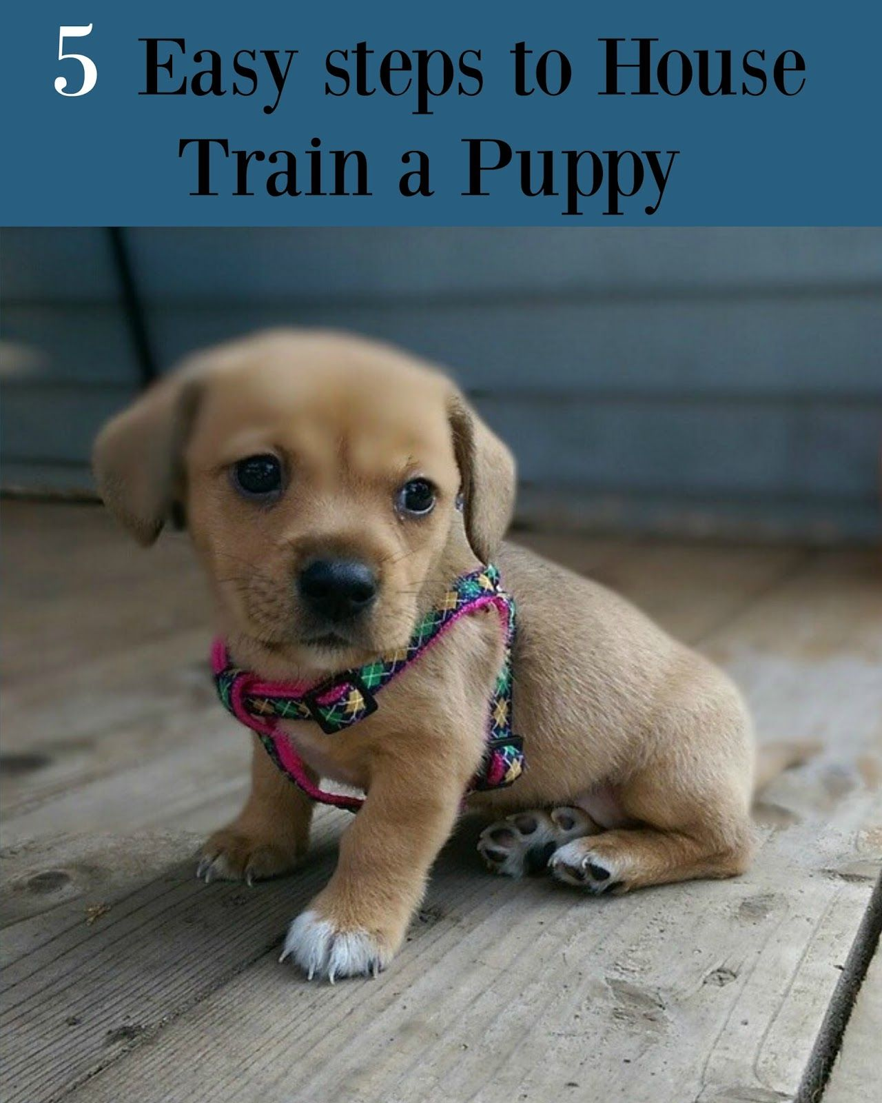 5 Easy steps to House Train a Puppy Puppies, Dog