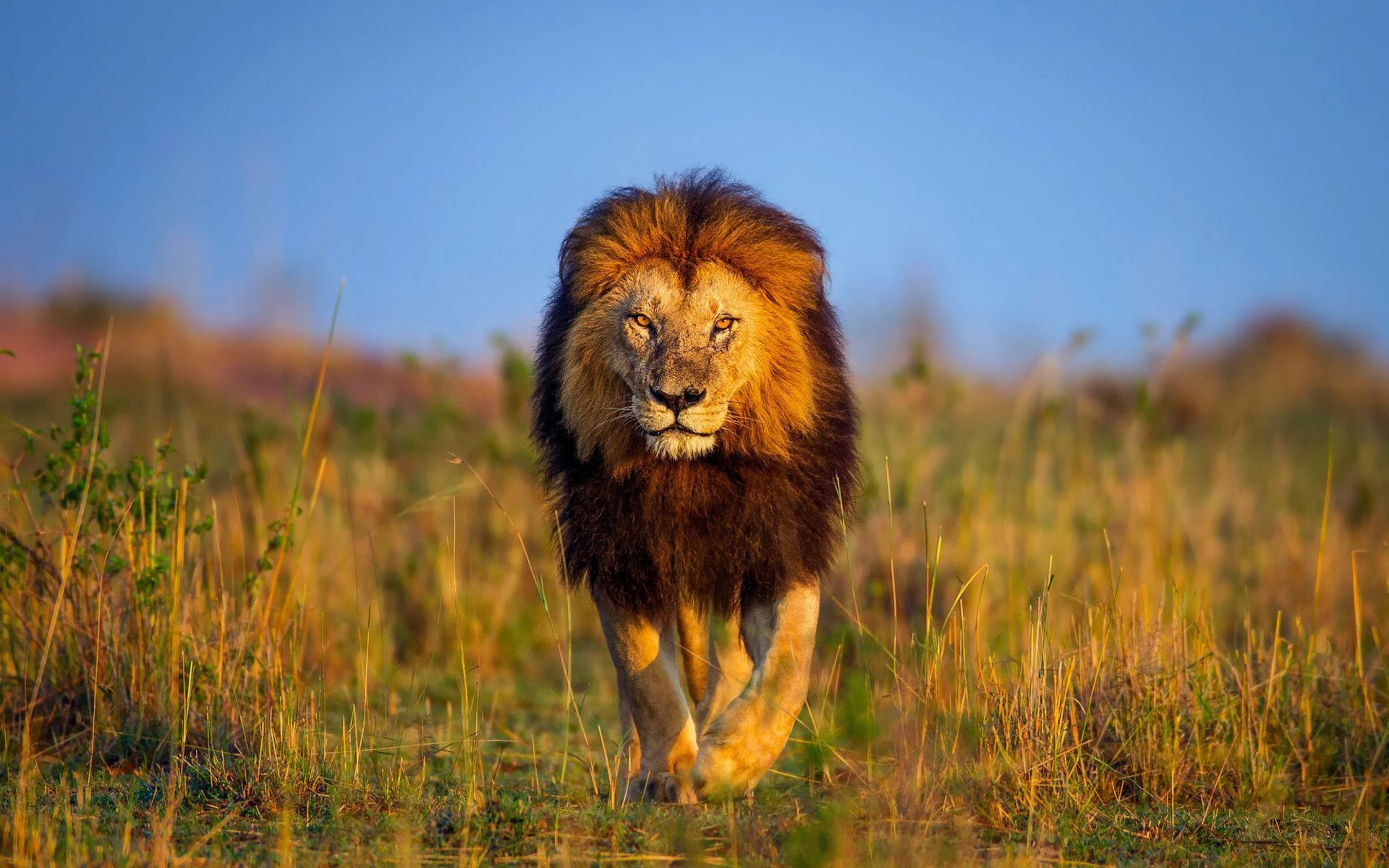 lion hd wallpapers 1024x768 - photo #17