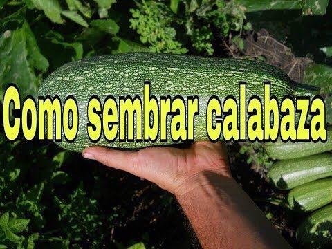 como sembrar calabaza en maceta - youtube | huerto | pinterest