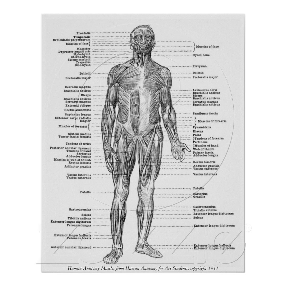 Poster Cru - muscles humains d\'anatomie | Pinterest