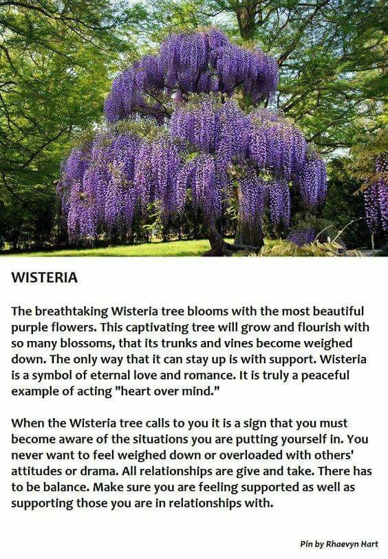 Pin By Linda Shanes On Wisteria Wisteria Tree Flowering Trees Trees To Plant