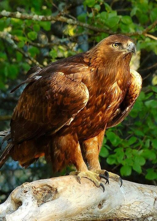 NC high county golden eagle, Morley.