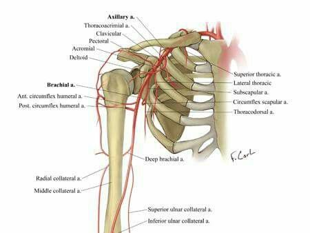 Vascular Anatomy Of The Upper Extremity Ctisus Radiology
