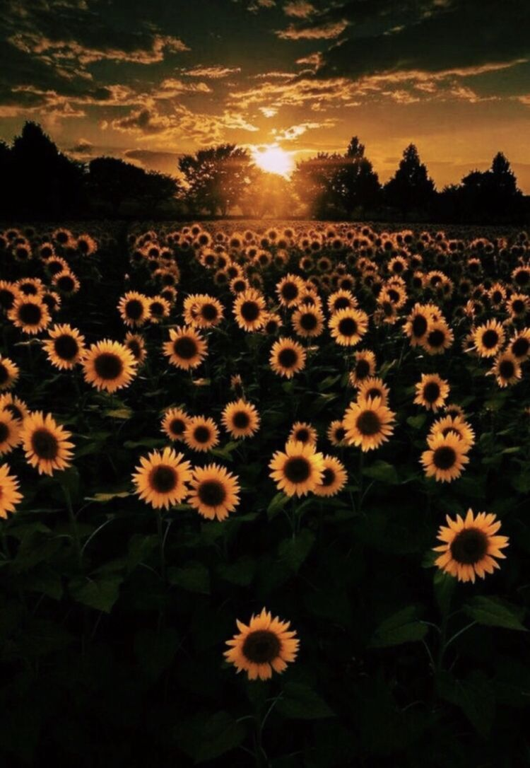 Insta Kaylin Zoey Pinterest Kaylin Zoey Nature Photography Sunflower Wallpaper Sunflower Iphone Wallpaper