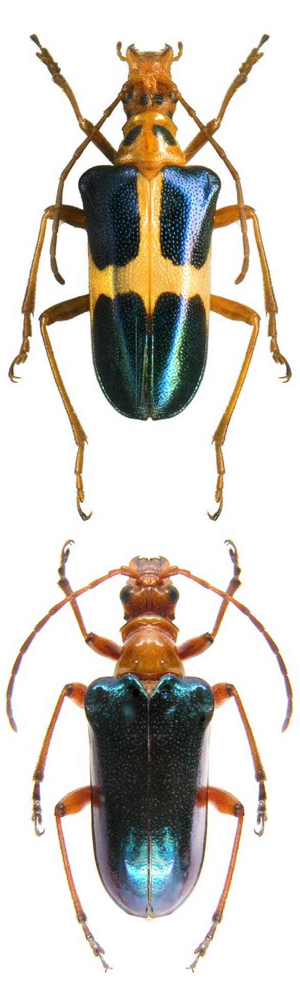Rhondia maculithorax