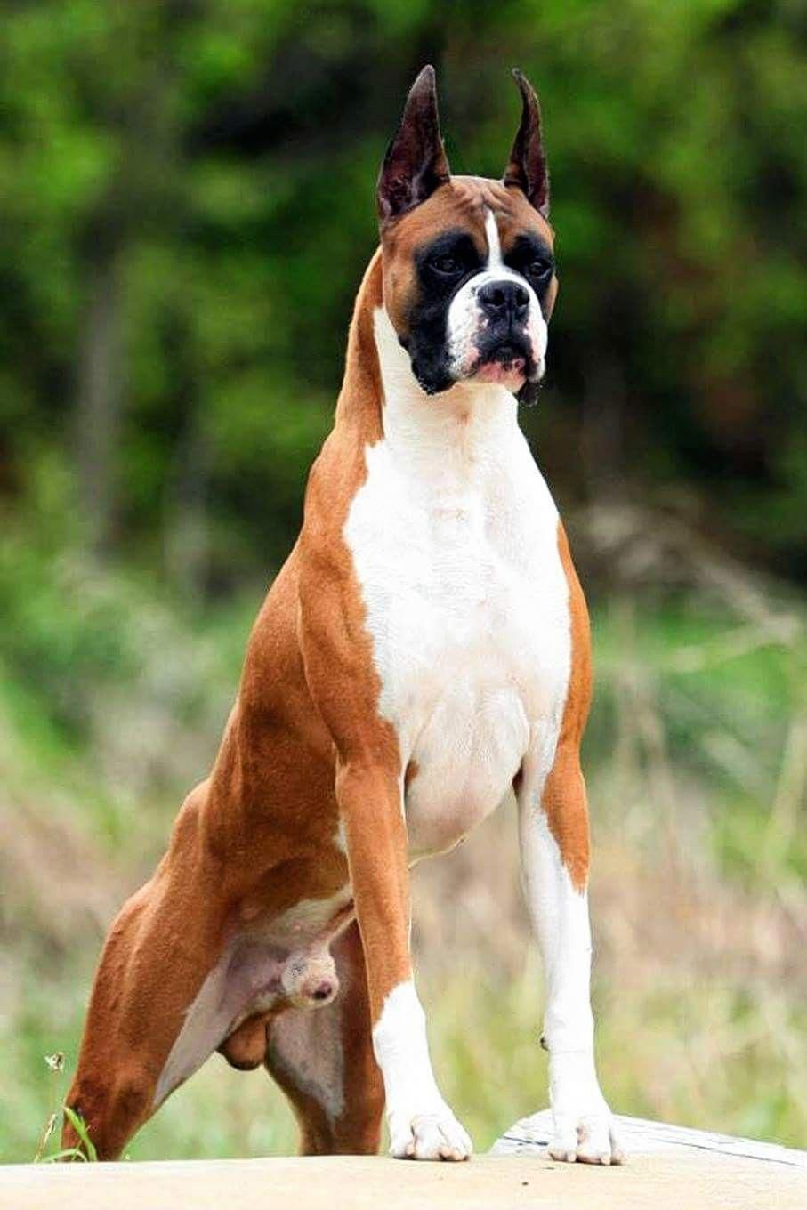 Learn Even More Information On Boxer Dogs Look Into Our Site