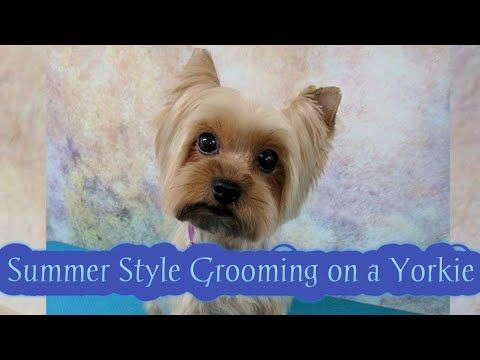 Yorkshire Terrier Grooming In This Video I Demonstrate A Short