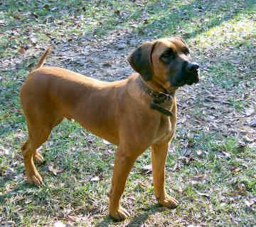 Black Mouth Cur | Pictures of Black Mouth Cur #6 #blackmouthcurdog Black Mouth Cur | Pictures of Black Mouth Cur #6 #blackmouthcurdog