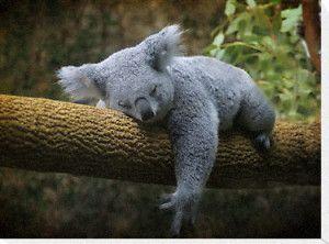 Sleeping Koala Bear Canvas Print Cute animals, Cute baby