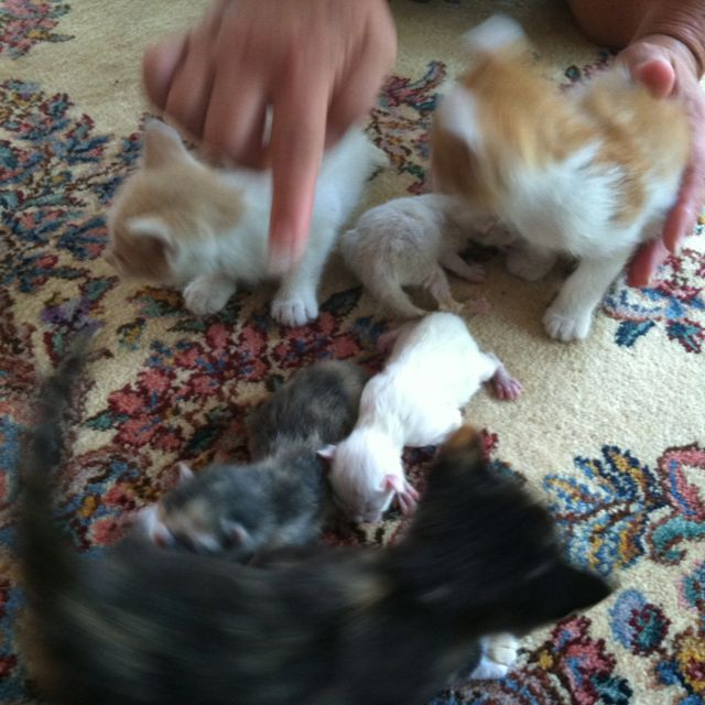 Three 6 Week Old Kittens White Orange One 5 Week Old Kitten Black Orange Calico Free To Good Home Three 1 Day Old Kitte 6 Week Old Kitten Kittens Kitten