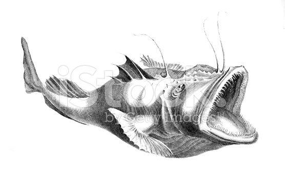 Angler Fish Anatomy Cerca Con Google