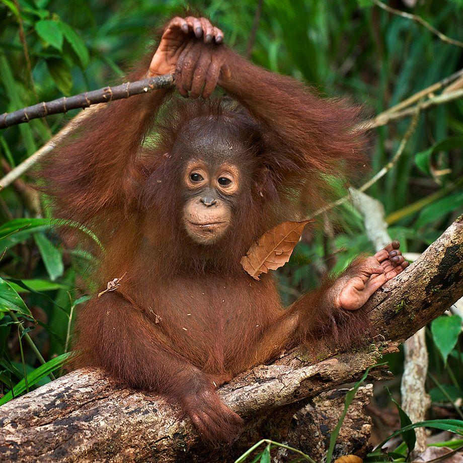 Картинки юбилеем, орангутанги картинки смешные