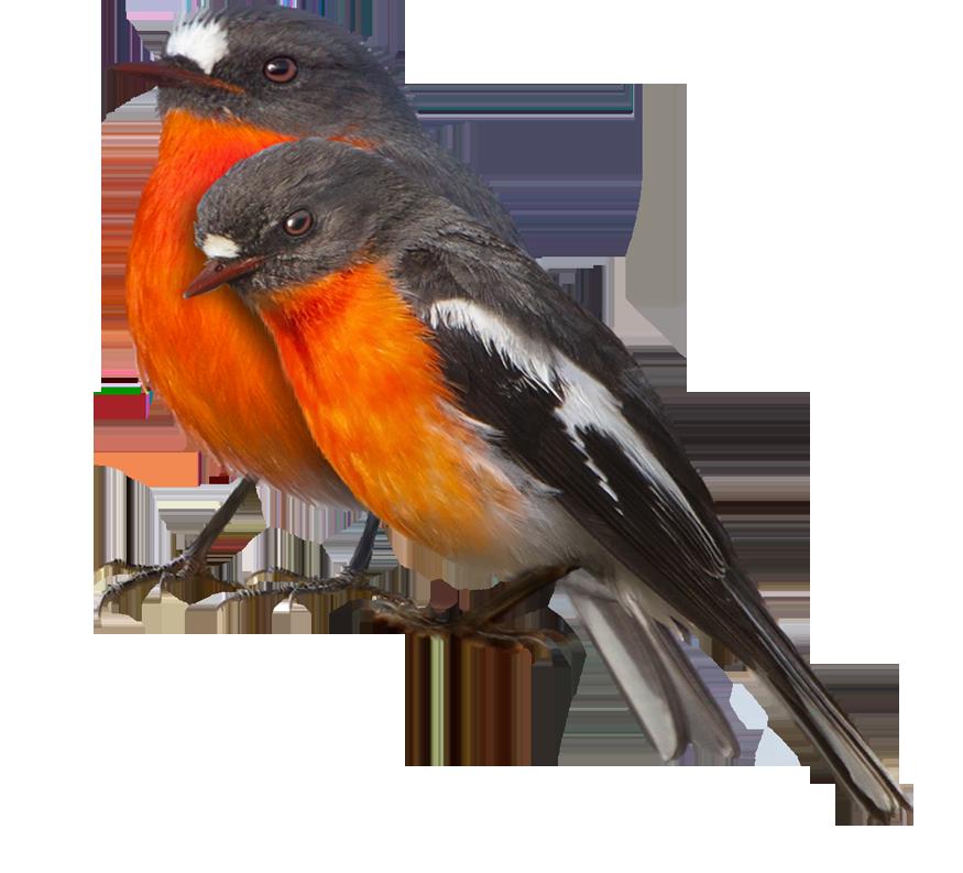 Winter Birds Png File Free Use Robin Bird Bird Birds