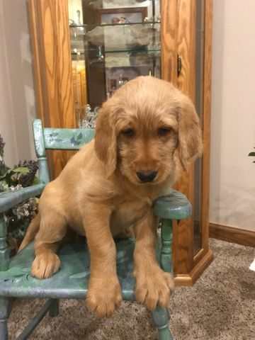 Labradoodle Puppy For Sale In Holcombe Wi Adn 53816 On
