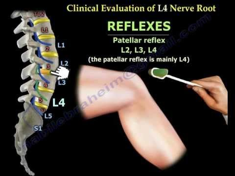 femoral nerve anatomy - everything you need to know - dr. nabil, Muscles