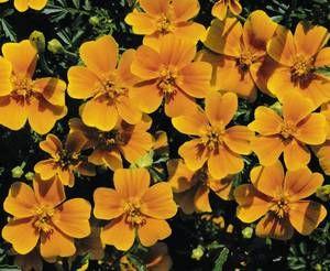 Tagetes tenuifolia, 'Tangerine Gem'