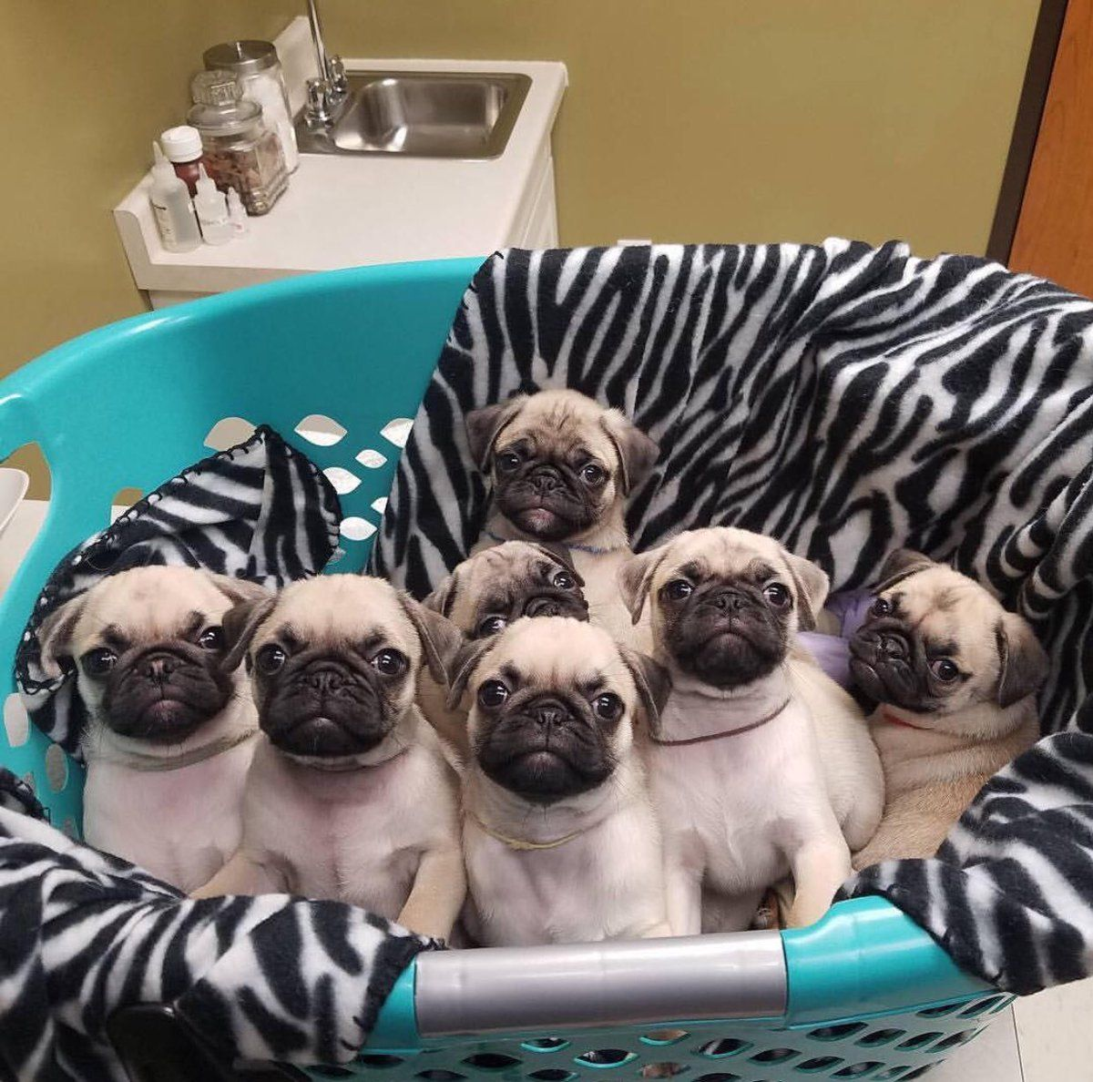 Adopt A Pug Twitter Search Cute Pugs Baby Pugs Cute Pug Puppies
