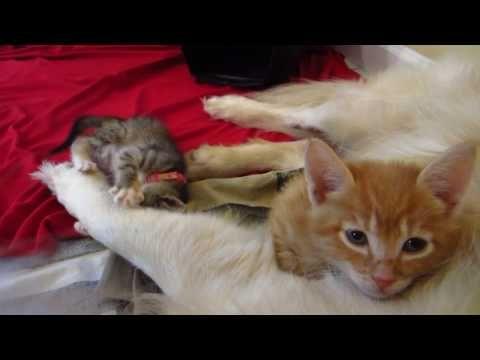 Crazy Kitten Playing With Big Dog 39 S Paw Orange Kitty