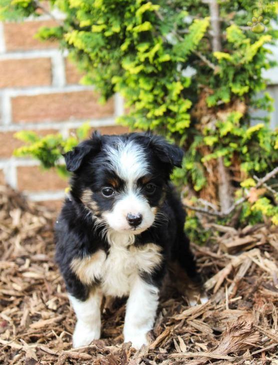 Biscuit - Mini Australian Shepherd Puppy for Sale in