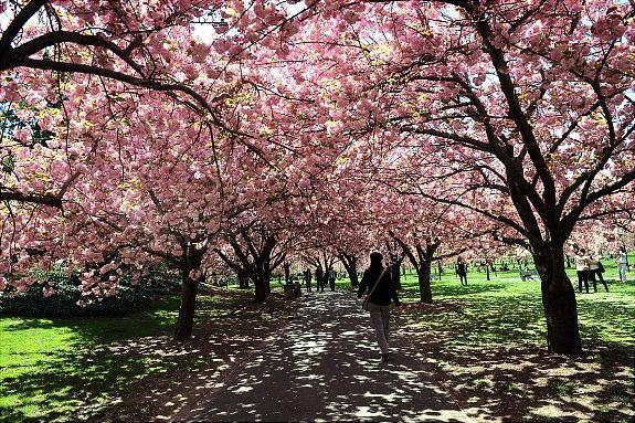 Brooklyn Botanical Garden Brooklyn Botanical Garden Botanical Gardens Cherry Blossom Tree