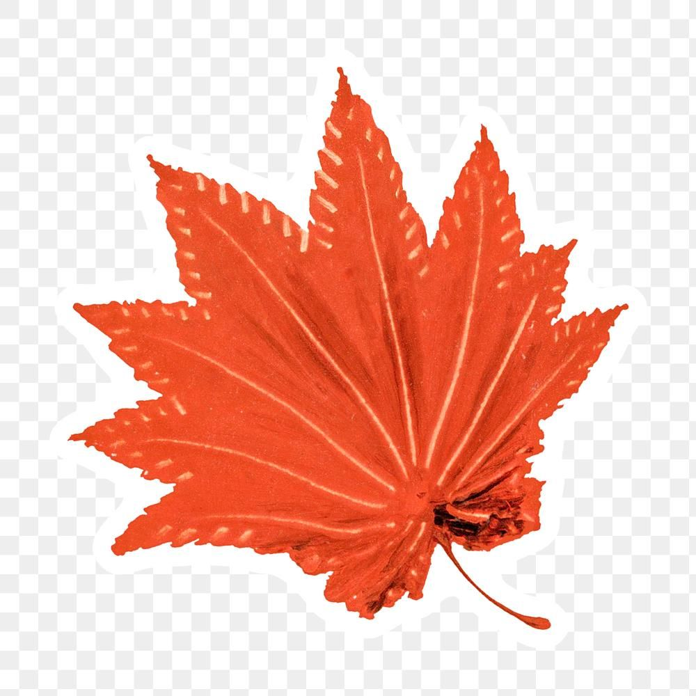 Hand Drawn Maple Leaf Sticker With White Border Free Image By Rawpixel Com Moss How To Draw Hands Design Element Free Illustrations