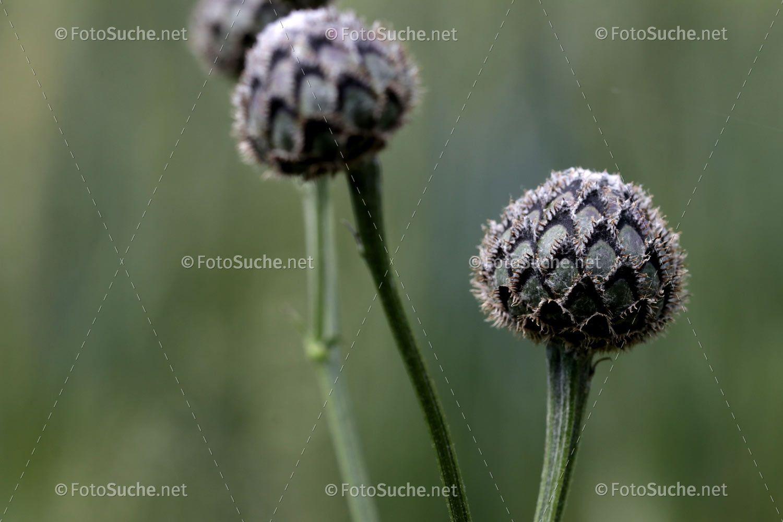 Pin Von Fotosuche Net Auf Fotos Pflanzen Distel Fotos