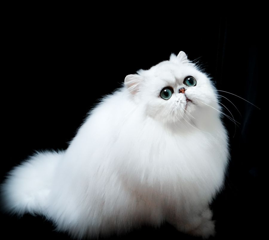 Simbakui Silver Persians Amp Golden Persians Persian Cat Breeder Angora Cats Persian Kittens Persian Cat