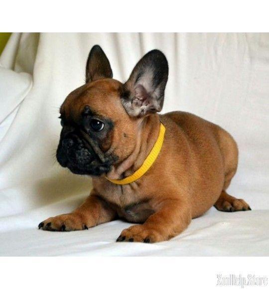 French Bulldog Exclusive Puppies Price 1 800 Bulldog Bulldog