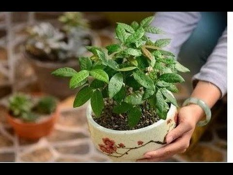 How To Grow Longan Fruit Bonsai Trees Plants