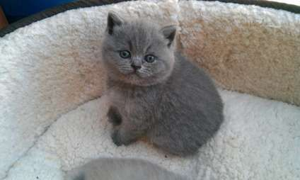 Long Hair Burmese Cat Age 3 To 6 Month Cat Breed British