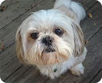 Raleigh Nc Shih Tzu Mix Meet Chips A Dog For Adoption Kitten Adoption Dog Adoption Pets