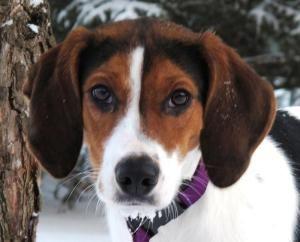 Adopt Breezia On Walker Hound Treeing Walker Coonhound Dogs