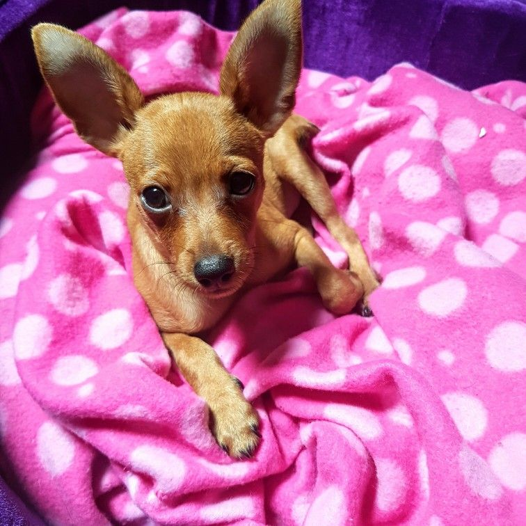My Baby Chico Sometimes A Baby Mini Pinscher Sometimes A Baby