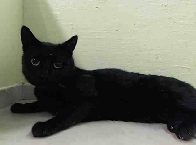 ***Gone but not forgotten!*** 11/22/14 Manhattan Center  My name is BEAUTY. My Animal ID # is A1020862. I am a female black domestic sh mix. The shelter thinks I am about 4 YEARS old.  I came in the shelter as a OWNER SUR on 11/16/2014 from NY 10458, owner surrender reason stated was HOUSE SOIL. http://www.urgentpetsondeathrow.org/cats/tbd-cats/