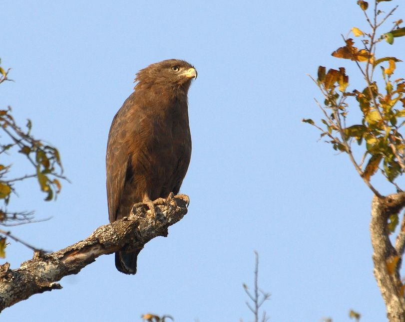 Western Banded Snake Eagle (Circaetus cinerascens) South-Luangwa-Philip-Perry