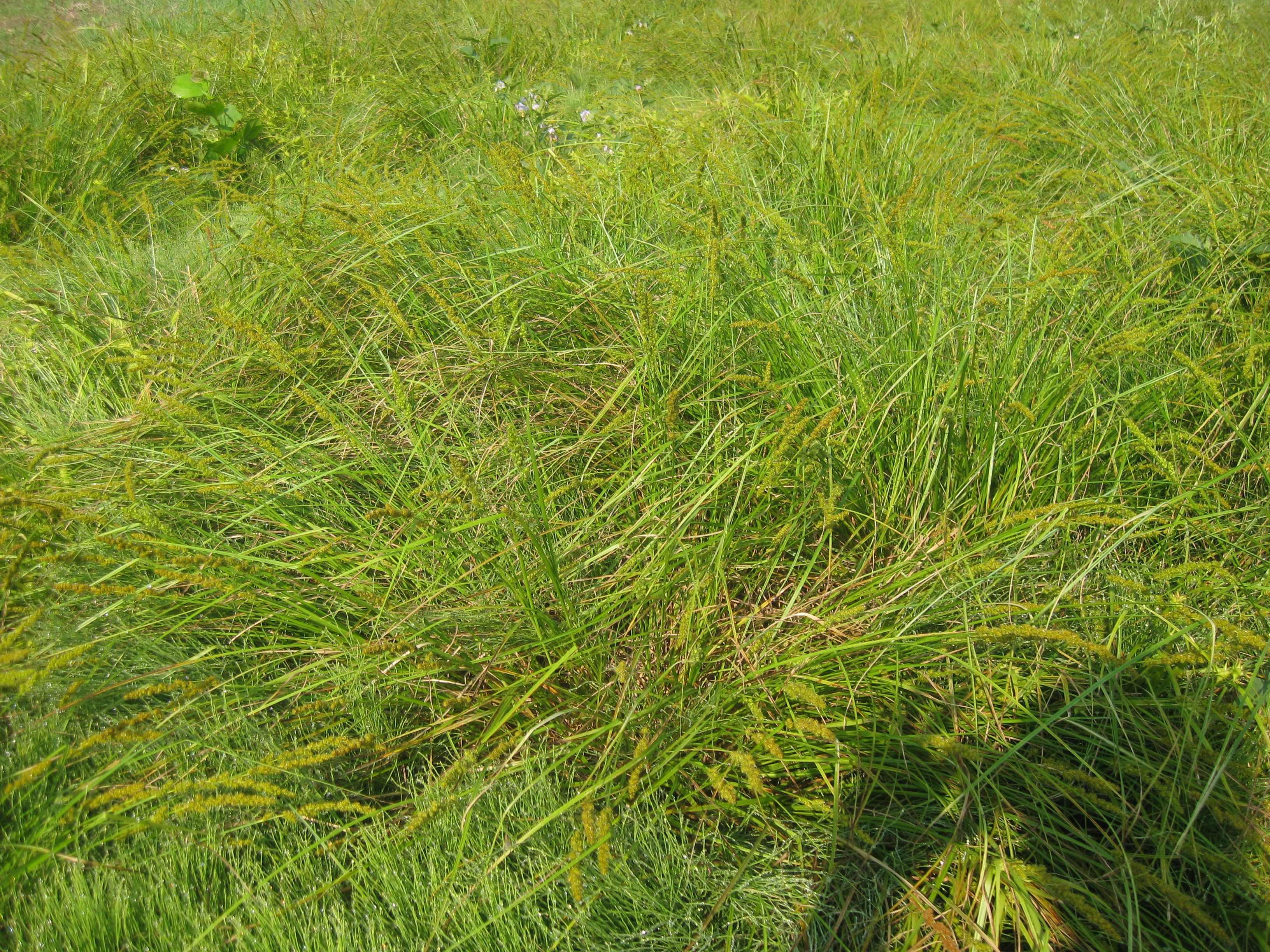 Carex Vulpinoidea Obl Is A Wetland Sedge Commonly Seen In Wet Meadows Swamps And Other Moist Areas Fox Sedge Is A Low Maint Wetland Erosion Control Shrubs