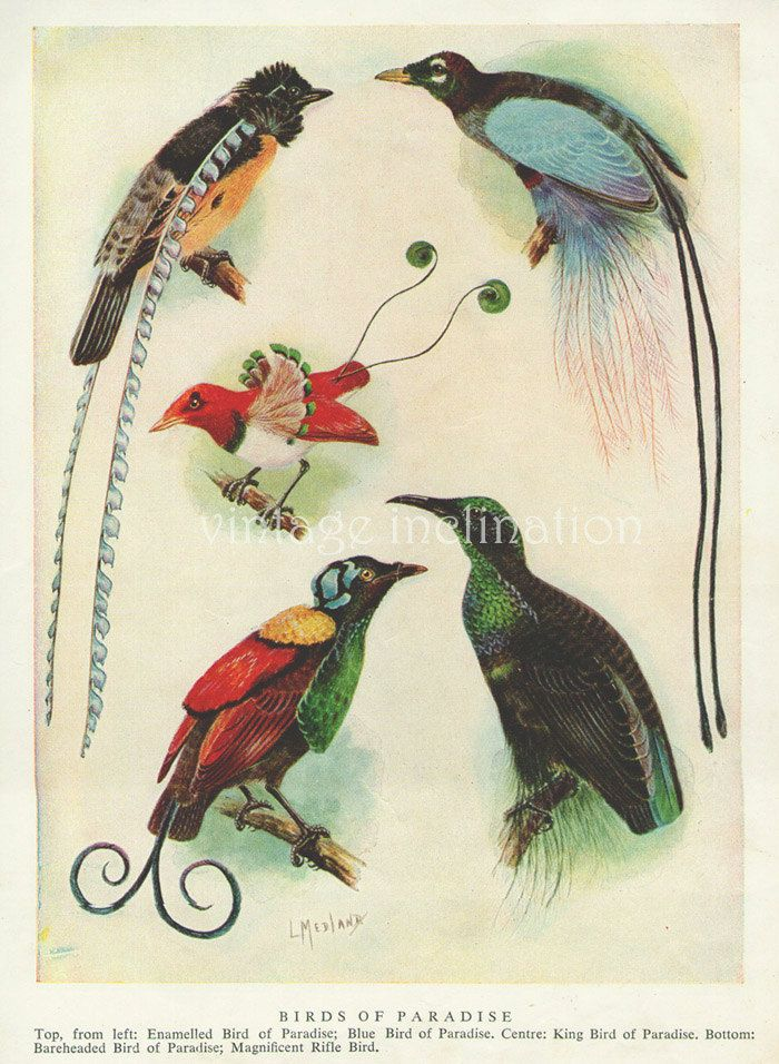 1950s Birds Of Paradise Vintage Bird Print Book Plate To Frame Blue