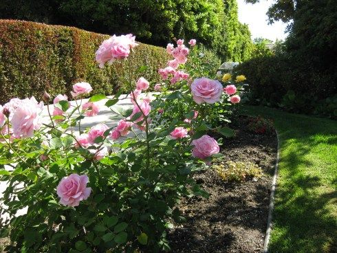 Bonica Rose Zone 5b Bonica Rose Rose Bush Knockout Roses