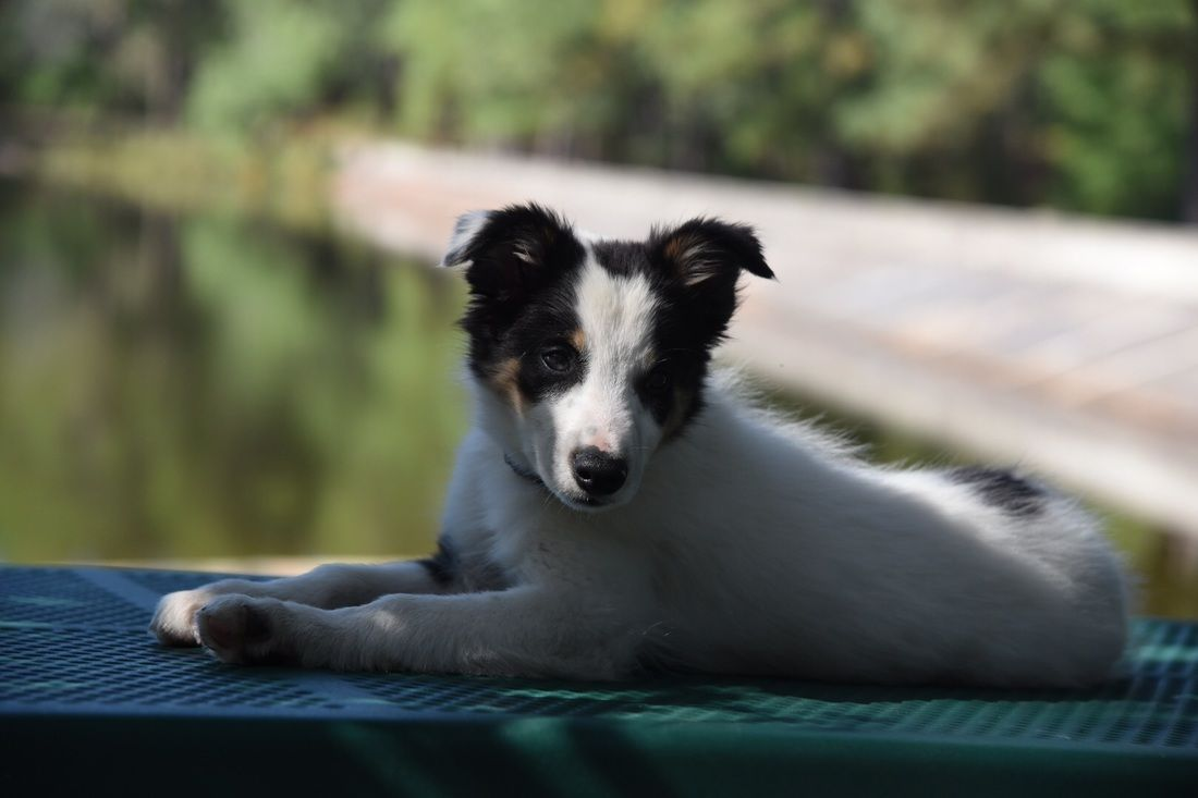 A Relaxing Day For This Border Collie Puppy Border Collie Puppies Collie Puppies Border Collie