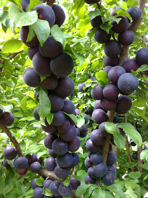Dwarf Spring Satin Plumcot Plantnet Australia Dwarf Fruit Trees Fruit Trees Low Maintenance Tree