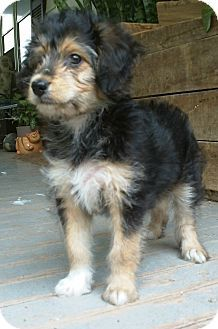Sheltidoodle Sheltie Poodle Mix Info Temperament Puppies