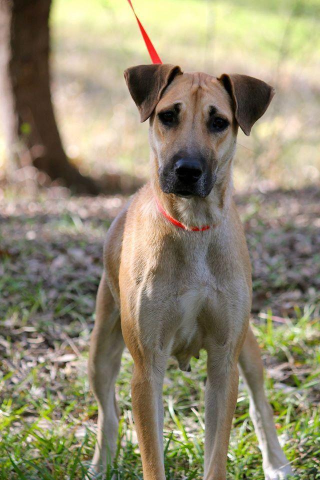 Adopt Dahlia On Shepherd Mix Dog Dogs Adoption