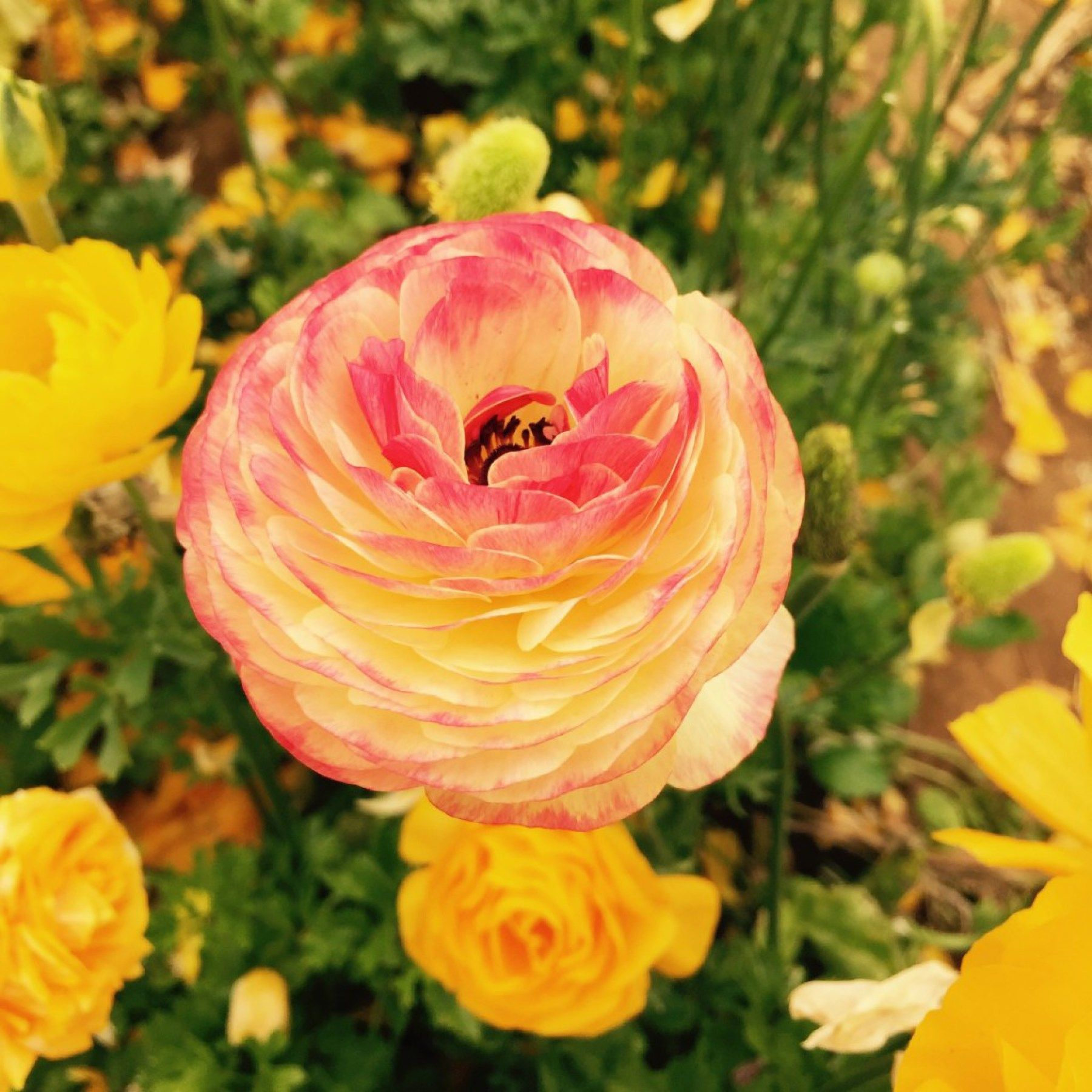 The Nearly Fifty Acres Of Giant Tecolote Ranunculus Flowers That Make Up The Flower Fields In Carlsbad California Carlsbad Flower Fields Flower Field Flowers