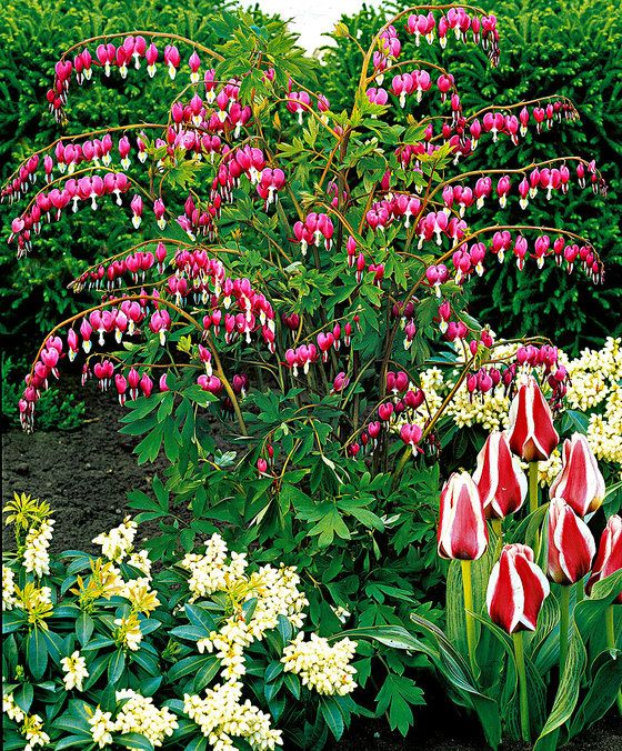 Lamprocapnos Spectabilis Dicentra Spectabilis Bleeding Heart Asian Bleeding Heart Lyre Flower Lady In A Bath Cœur Bleeding Heart Plants Bulb Flowers