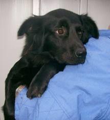 Border Collie Flat Coated Retriever Mix Google Search Black Dog